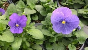 viola and pansy