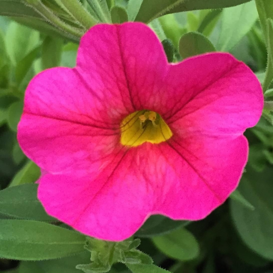 Growing Calibrachoa Organically